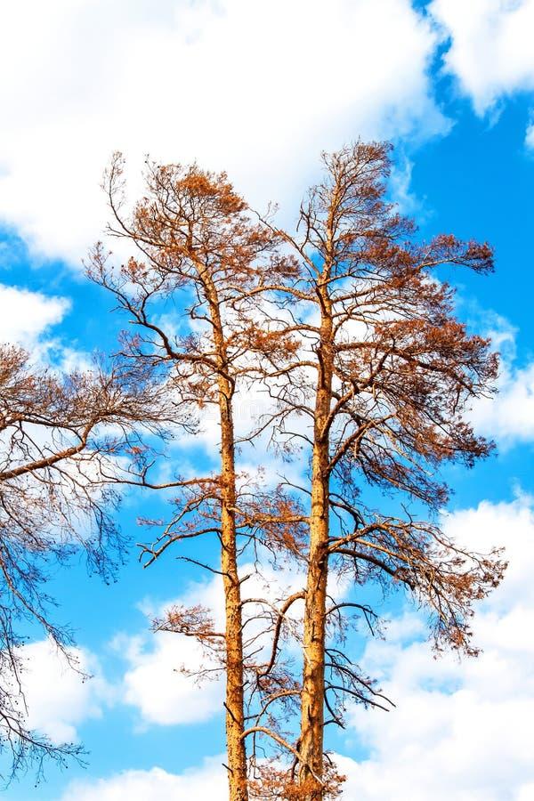 Więdnąca sosna na niebieskim niebie gor?ce letnie dni susza Europe globalne ocieplenie Suszyć drzewa w republika czech obrazy stock
