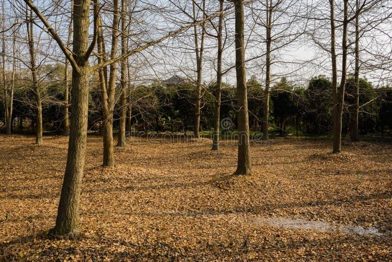 Więdnący gingkoes na spadać liściach zakrywali ziemię w pogodnym winte fotografia royalty free