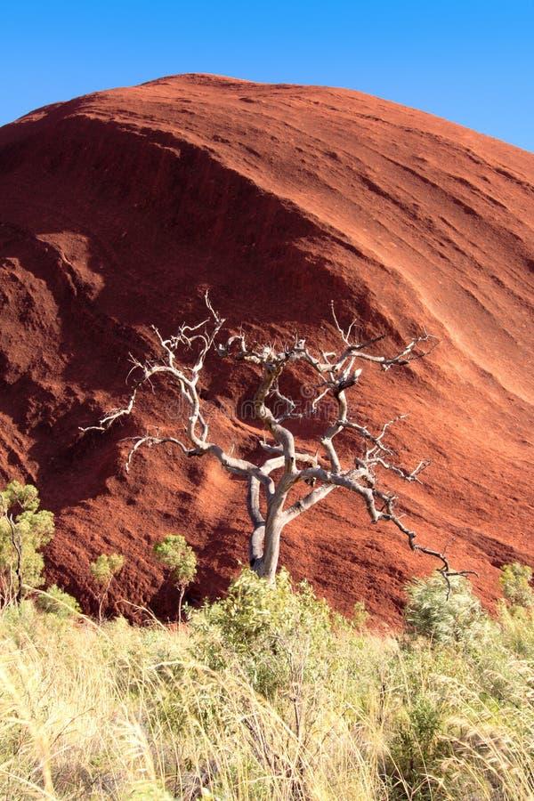 więdnący nieżywy eukaliptus zdjęcie stock