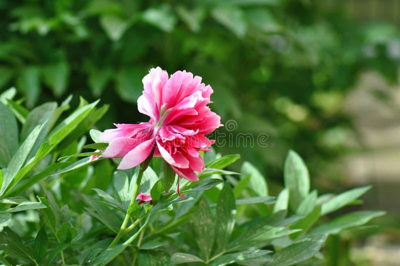 Więdnący peonia kwiat zdjęcia royalty free