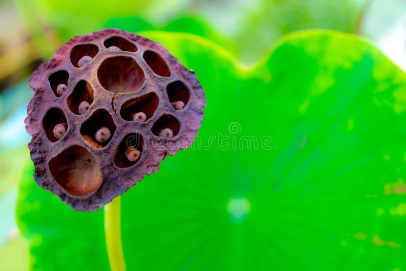 Więdnie lotosu fotografia royalty free