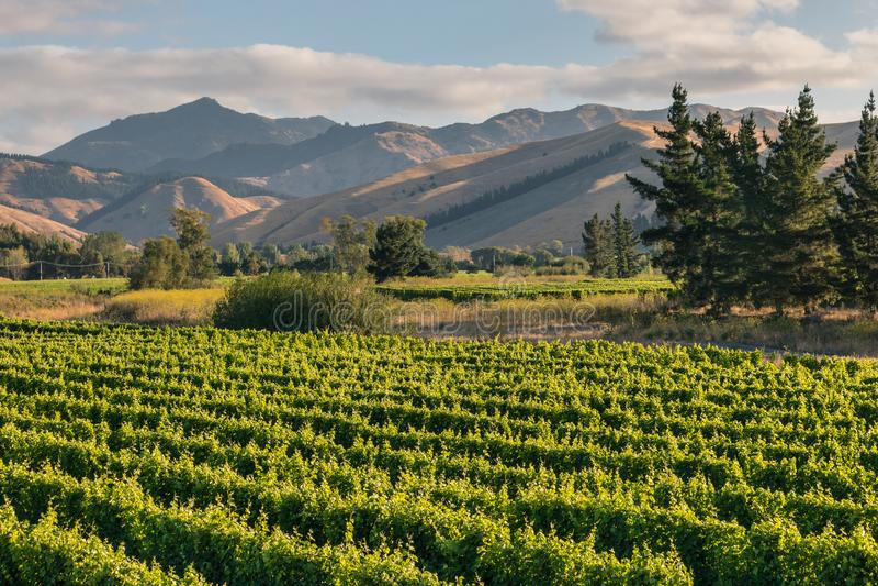 Więdnie wzgórza w Marlborough regionie w Nowa Zelandia z winnicą obrazy royalty free