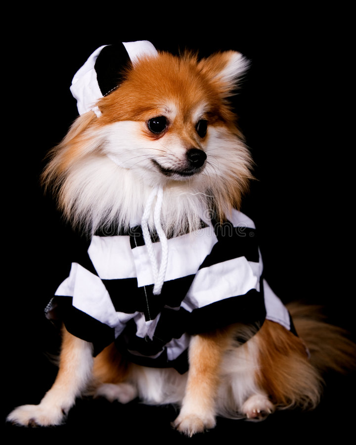 więzienna pomeranian zdjęcie royalty free