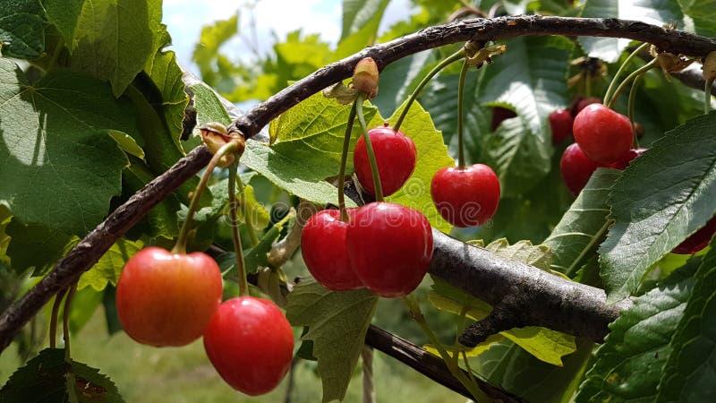 Wiśni czerwieni dojrzała zieleń opuszcza na drzewie, wiosny tło obrazy stock