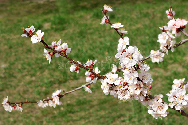 Wiśni gałąź z kwitnienie kwiatami obrazy royalty free