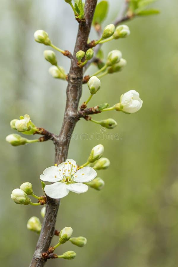 Wiśni gałąź z nabrzmiałymi pączkami i rzadkimi białymi kwiatami fotografia stock