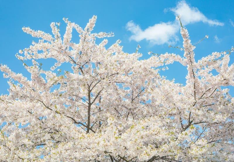 Wiśni gałęziastego drzewnego okwitnięcia kwitnący niebieskie niebo zdjęcie stock