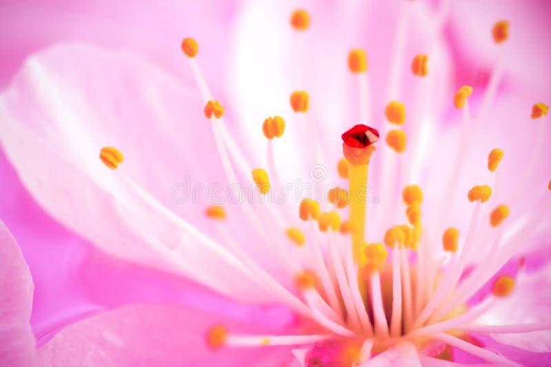 wiśni zakończenia kwiat fotografia royalty free