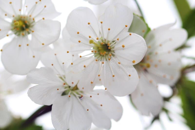 Wiśnia kwitnie makro- fotografię Biały tło Cudowna i czuła wiosna fotografia stock