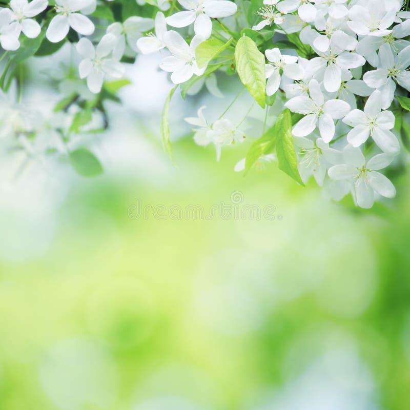 Wiśnia kwitnie w słonecznym dniu na zieleni fotografia stock