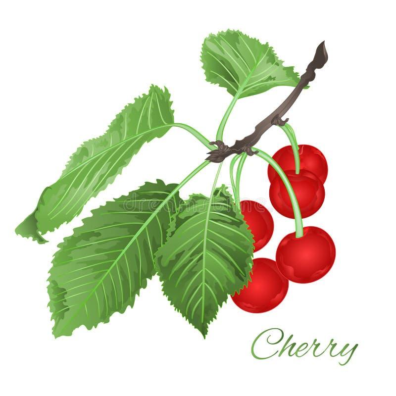 Wiśnia opuszcza i kwitnie owocowego zdrowego łasowanie rocznika jagody wektorowy ilustracyjny editable ilustracja wektor