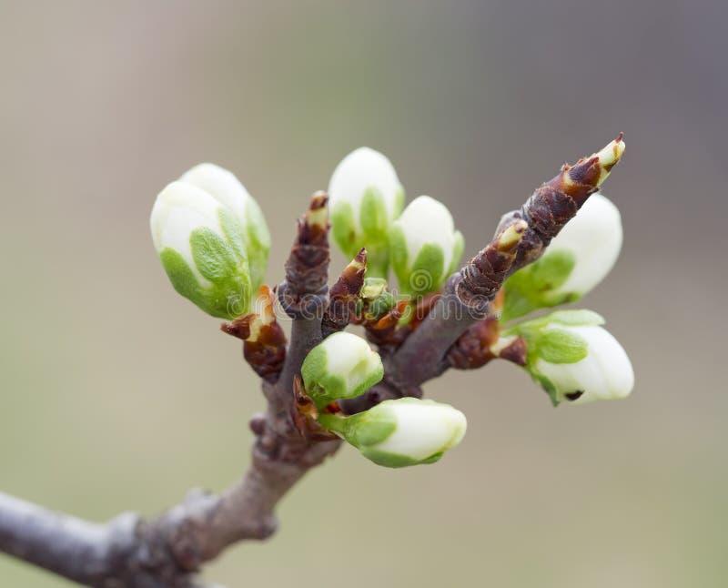 Wiśnia pączkuje w wiośnie fotografia stock