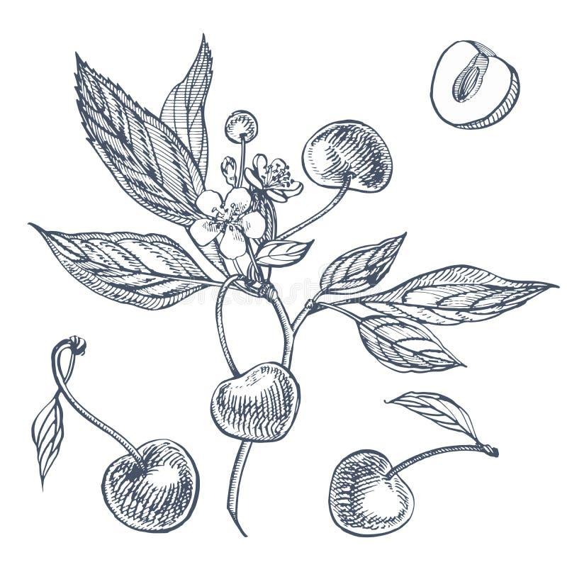 Wiśnia set Ręka rysująca jagoda odizolowywająca na białym tle Lato wektoru stylu owoc grawerująca ilustracja Wielki dla ilustracja wektor