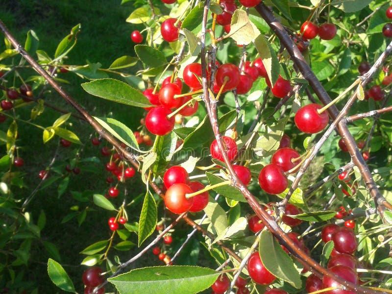 Wiśnia w ogródzie obrazy stock