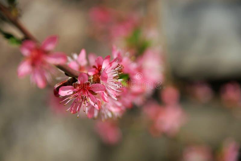 Wiśnia w wiośnie i pszczoły która pracują dobrze zdjęcie stock