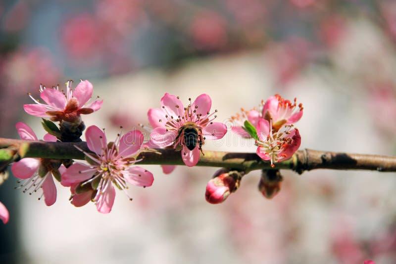 Wiśnia w wiośnie i pszczoły która pracują dobrze obrazy royalty free