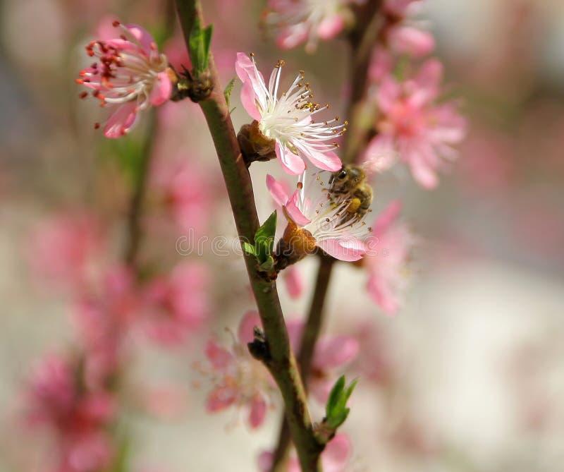 Wiśnia w wiośnie i pszczoły która pracują dobrze obraz stock
