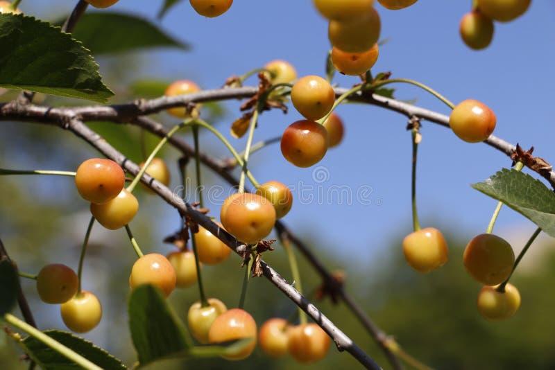 Wiśnia zaczyna dojrzewać na gałąź Owocowy czereśniowy drzewo obrazy stock