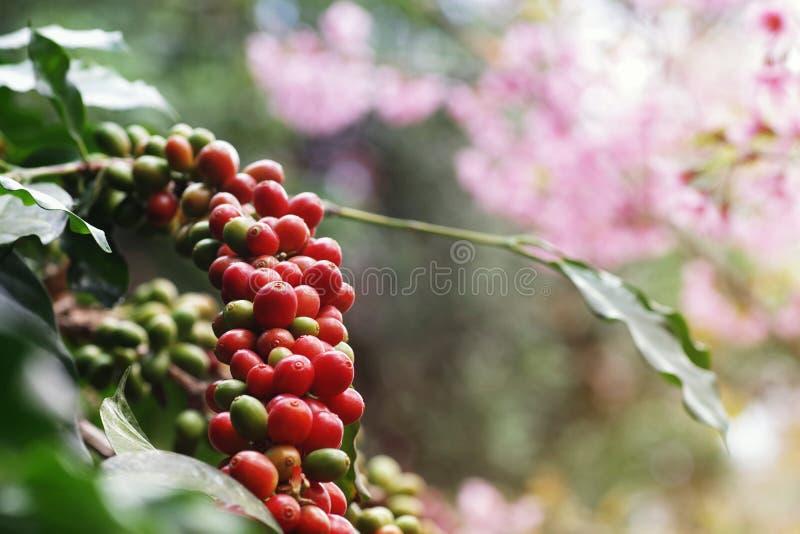 Wiśnie i czereśnie z owoców kawy rosną w skupiskach wzdłuż gałęzi plantacji drzewa kawy rosnącej pod koroną leśną z rozmazanymi obrazy stock