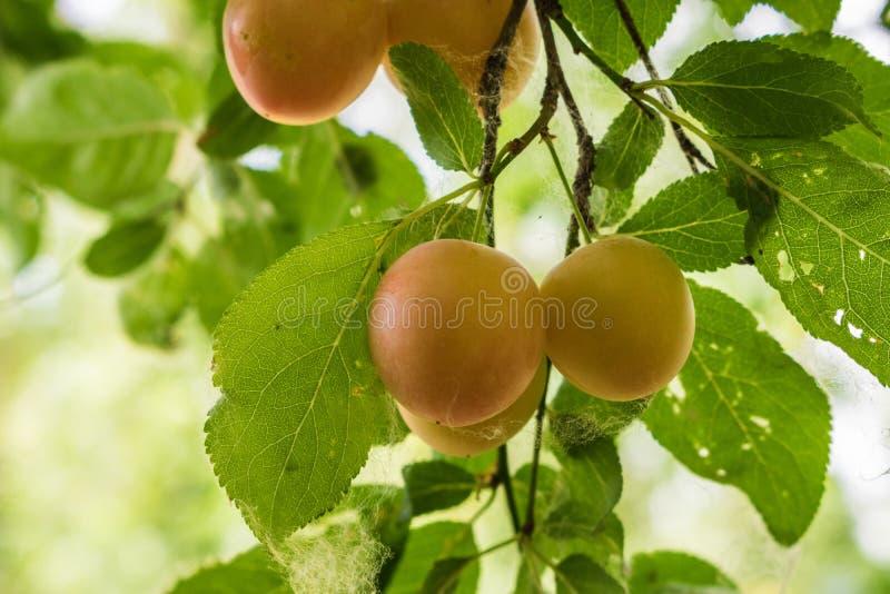 Wiśnie na drzewie wokoło dojrzewać zdjęcia royalty free