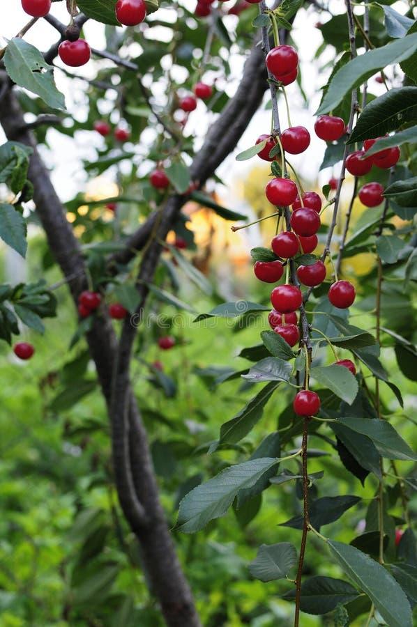 Wiśnie wiesza na czereśniowej gałąź Czerwone organicznie wiśnie na gałąź czereśniowy drzewo, makro-, dojrzałe wiśnie na gałąź, zdjęcia stock