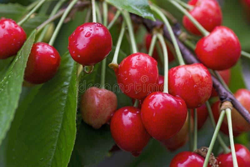 Wiśnie wiesza na czereśniowej gałąź Soczyste czerwone wiśnie na czereśniowym drzewie obraz royalty free