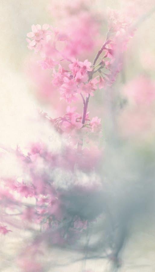 Wiśniowe kwiaty wiśni zdjęcie stock