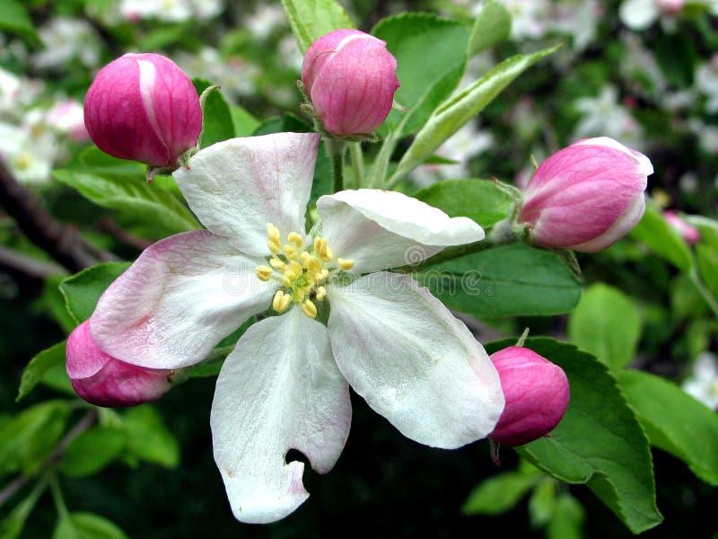 Wiśnie kwiaty