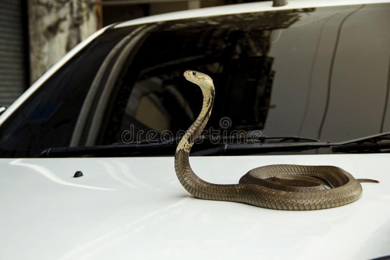 Wi się Syjamskiej kobry na pokrywkowym frontowym kapiszonu samochodzie fotografia royalty free