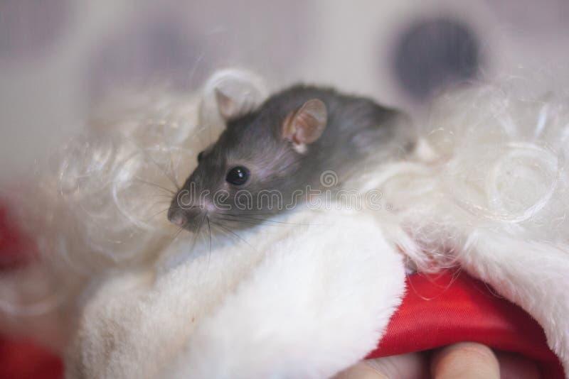 ?wi?ty Miko?aj broda szczur jest czarnym symbolem chi?czyk nowy obrazy stock