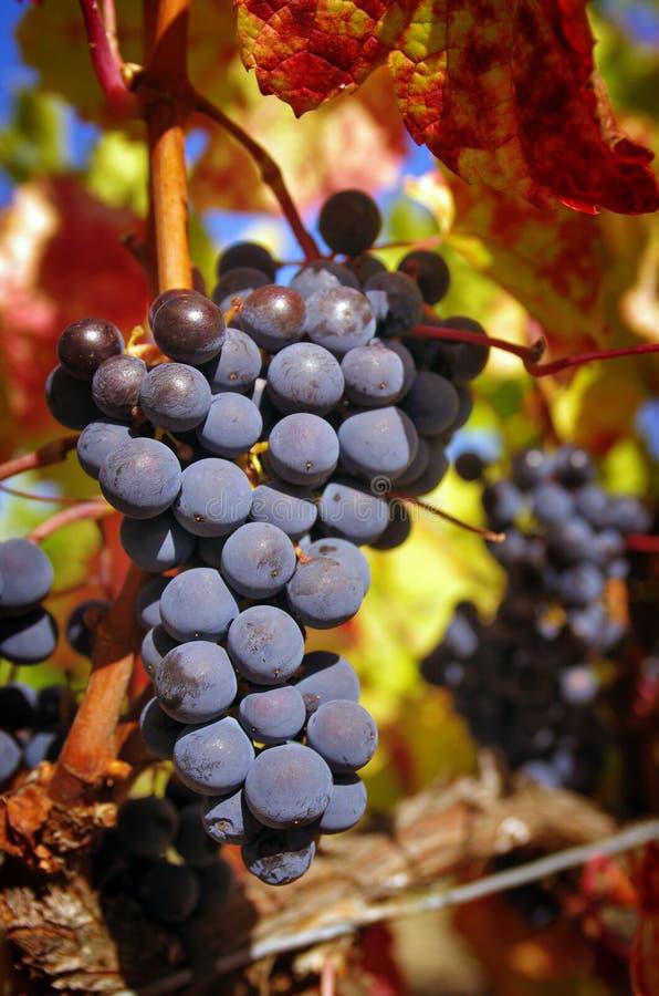 Download Wiązka Winogrona zdjęcie stock. Obraz złożonej z plenerowy - 27202404