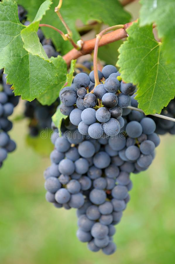 Wi?zka winogrona zamyka w g?r? winnicy wewn?trz zdjęcie royalty free