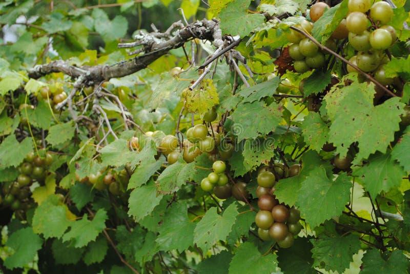 Wi?zki winogrona na winogradzie fotografia royalty free