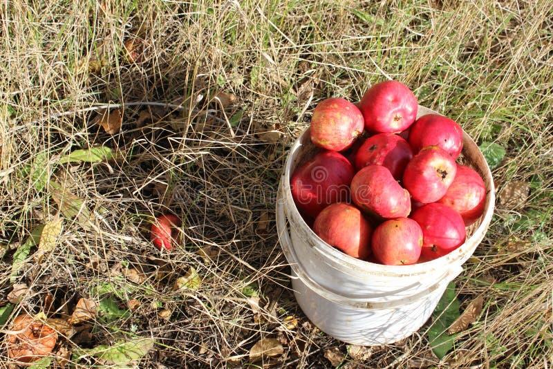 Wiadro jabłka na trawie obrazy stock