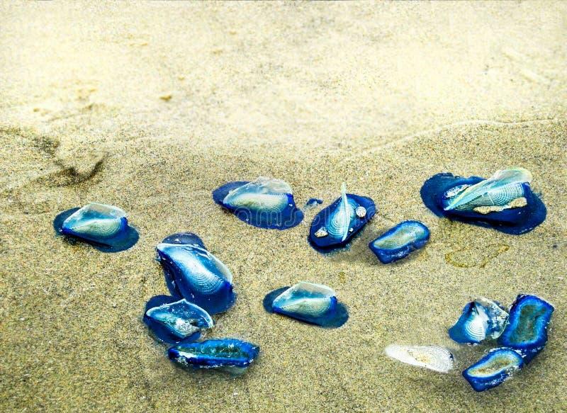 wiatrów żeglarzów Velella velella Błękitni aka jellyfish obrazy royalty free