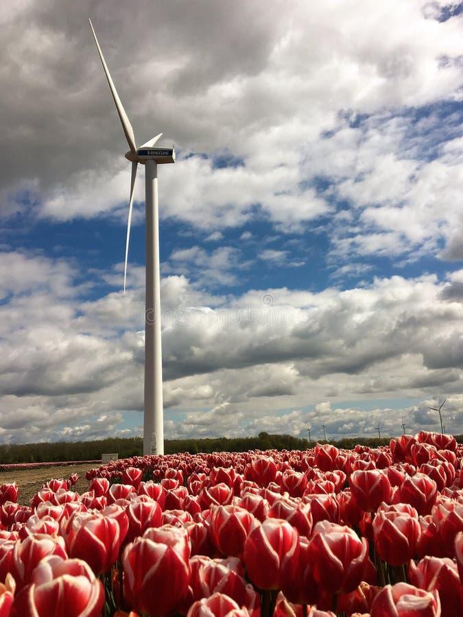 Wiatraczka i menchii tulipany Flevoland fotografia stock