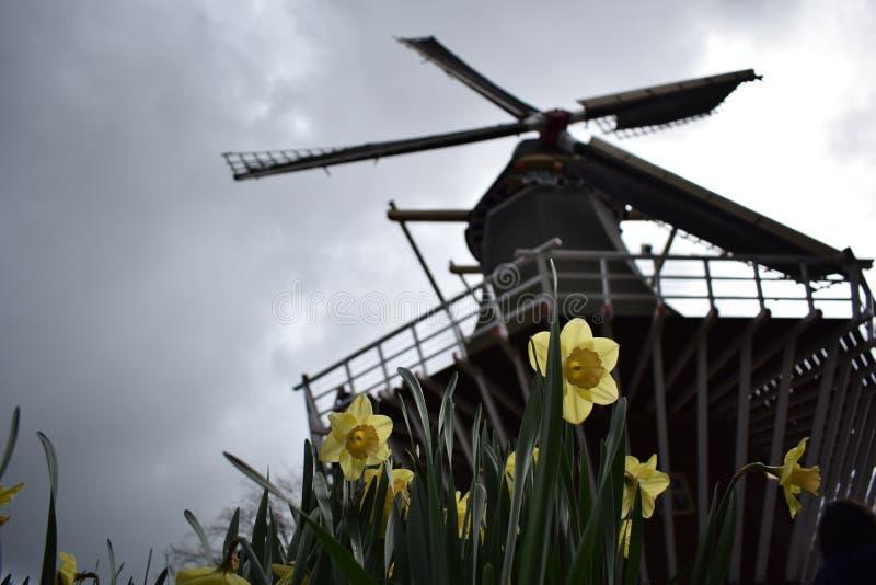 Wiatraczka kwiatu tulipanów Amsterdam Żółte holandie fotografia royalty free