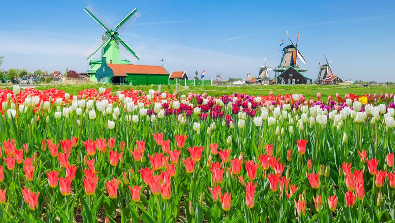 Wiatraczki z tulipanami w etnograficznym muzealnym Zaanse Schans, Neth obraz stock
