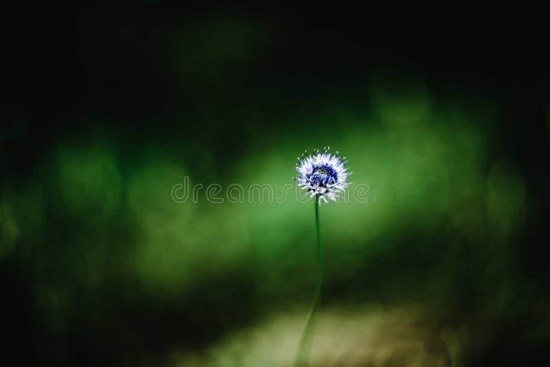 Wiatrowych ciosów dandelion oddaleni ziarna na błękitnym chroma wpisują tło Zwolnionego Tempa 240 fps Wysoki pr?dko?ci kamery str zdjęcia stock