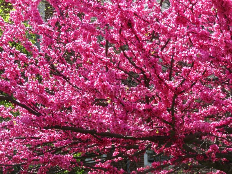 Wibrująca purpura Kwitnie w wiośnie obrazy stock
