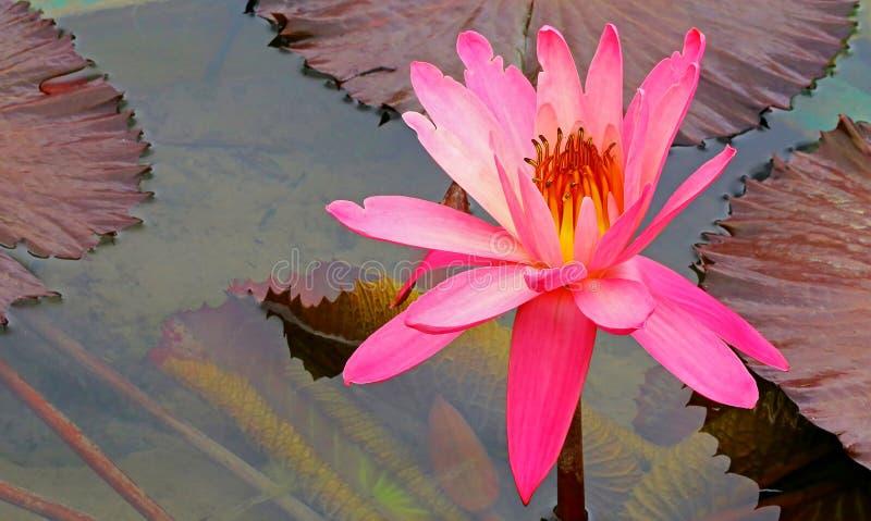 Wibrująca różowa wodna leluja w tropikalnym ogrodowym stawie zdjęcie royalty free