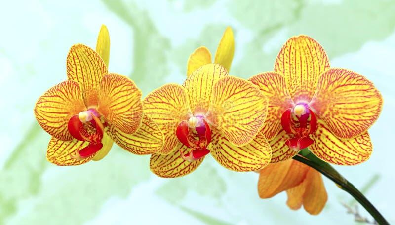 Wibrujące żółte orchidee fotografia stock