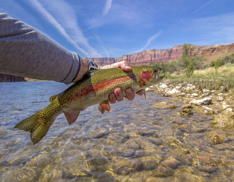 Wibrujący barwiony tęcza pstrąg od Kolorado Rzecznych pobliskich fusów Przewozi, AZ obraz stock