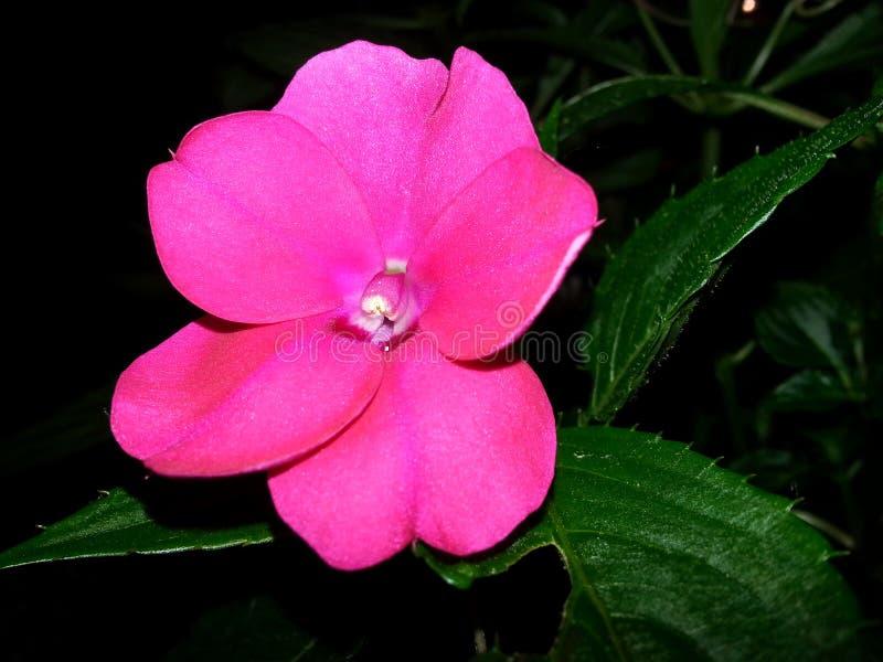 Wibrujący menchia kwiat obrazy royalty free