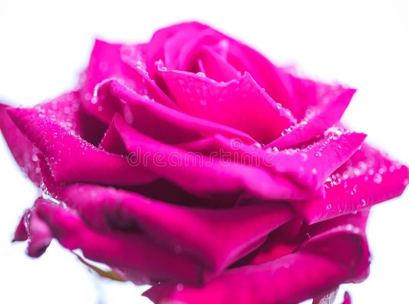 Wibrujący purpury róży zakończenie up zdjęcia stock