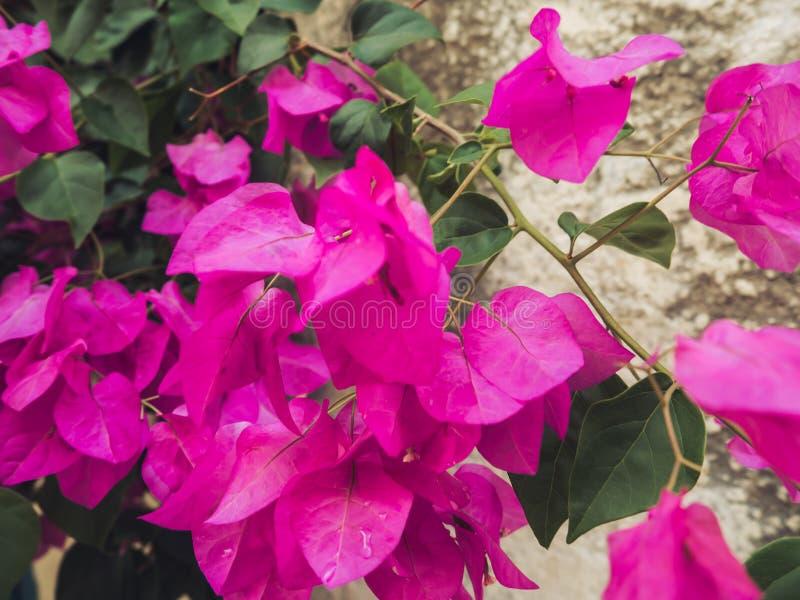 Wibrujący różowi Bougainvillea kwiaty - zbliżenie strzał obrazy stock
