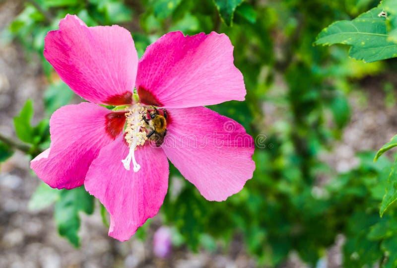 Wibrujący różowy poślubnika kwiat w kwiatu makro- zakończeniu up obraz royalty free