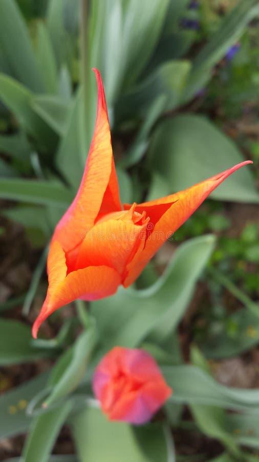 Wibrujący zamknięci pomarańczowi tulipany zdjęcia royalty free