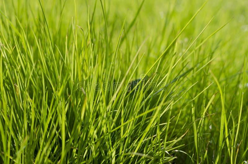 Wibrujący zielonej trawy zakończenie zdjęcia royalty free