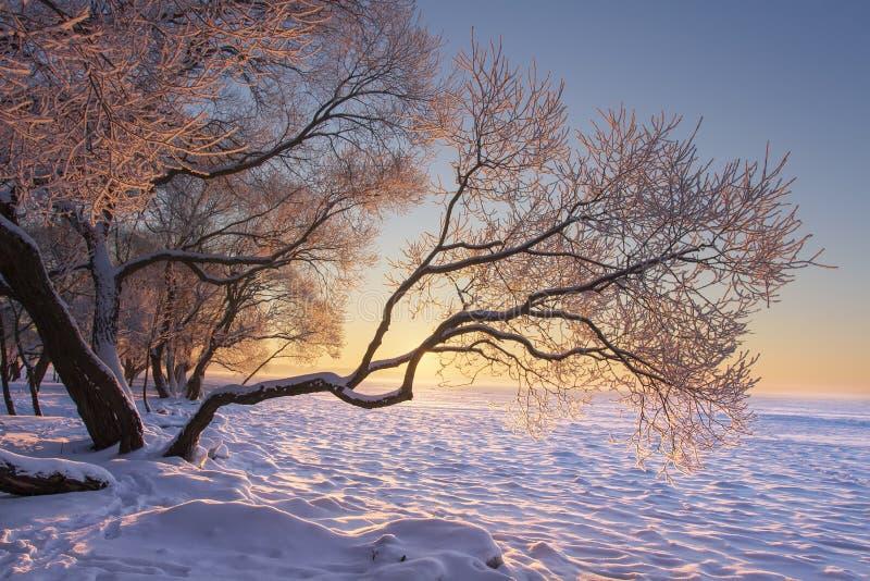 Wibrujący zima krajobraz przy ranku wschodem słońca z żółtym światłem słonecznym Śnieżni drzewa dalej marznęli na jeziornym brzeg obrazy stock